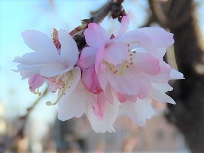 陽気に誘われて冬桜を見に亀久保西公園に行きました