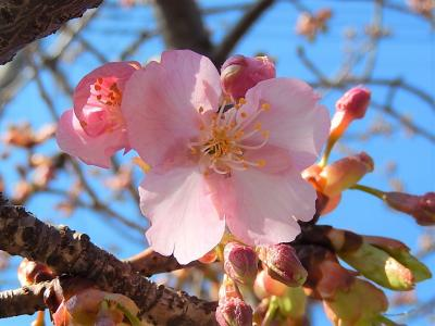 やっと咲き始めた鶴ケ岡中央通りの河津桜その後(2月25日観察)