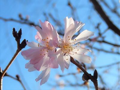 陽気に誘われて十月桜を見に行きました