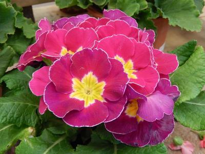 ガーデンセンターで見られた春の花⑳
