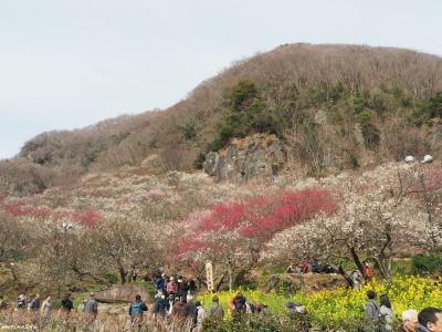 梅の宴:湯河原梅林