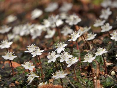 春の訪れを告げるバイカオウレンが見頃の六甲高山植物園