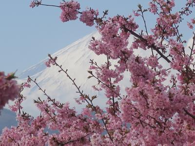 河津桜を見に、まつだ西平畑公園へ