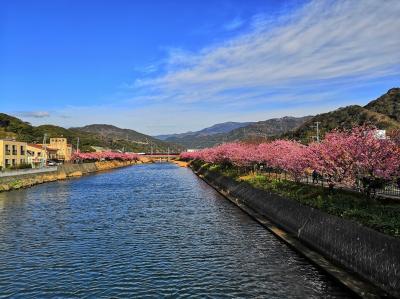 もう春はすぐそこ。満開の桜を見に伊豆河津へ。