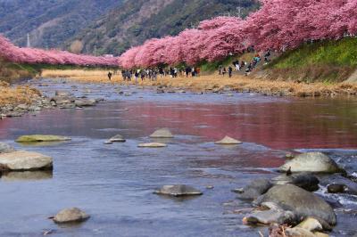 河津桜満開見頃