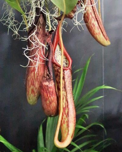 世界らん展-9 食虫植物 ウツボカズラ 種類多く ☆東南アジアのネペンテス属・特集