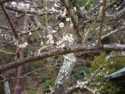 鎌倉の古社寺へ行き、梅の花を愛でてきました