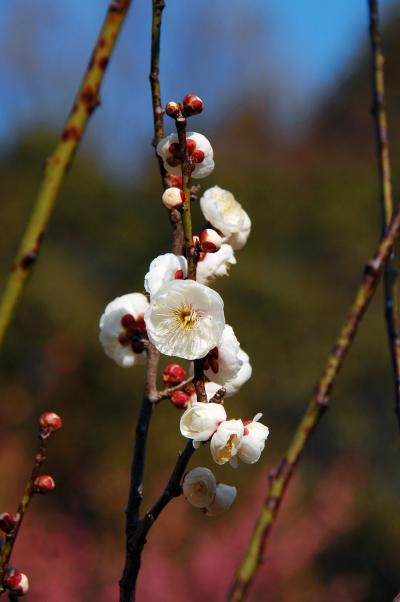 今年も山田池公園の梅園へ!Part.1