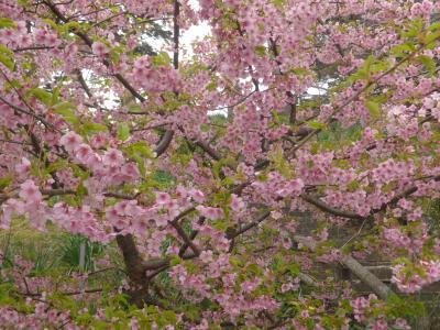 梅も、河津桜も見ずして帰る 写真は真鶴岬の桜。