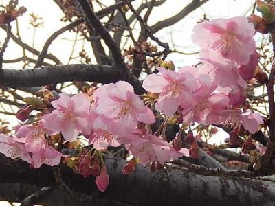 やっと咲き始めたふじみ野市鶴ケ岡中央通りの河津桜その後(2月27日観察)
