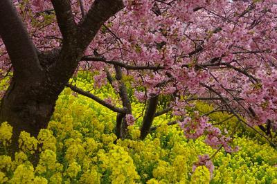 第21回 まつだ桜まつり  河津桜と菜の花
