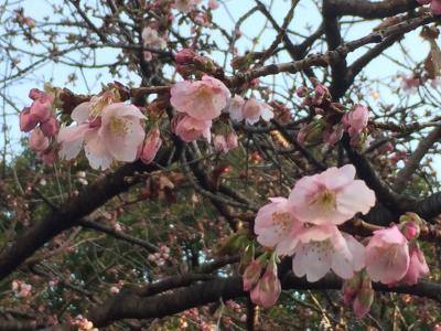 如月末の上野公園は早咲きの桜