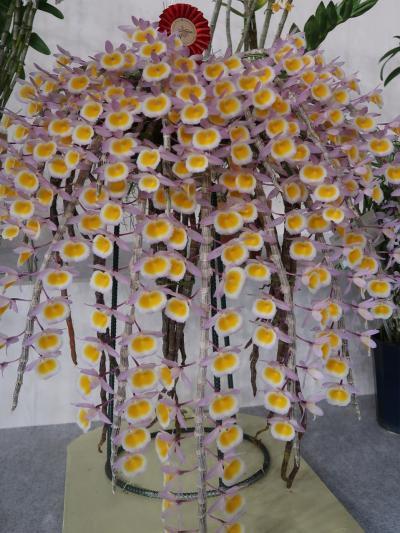 世界らん展19 個別部門A 受賞作品ずらりと ☆見事な花花/品格美に魅せられて