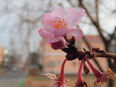 美しかった冬桜その後(2月27日観察)