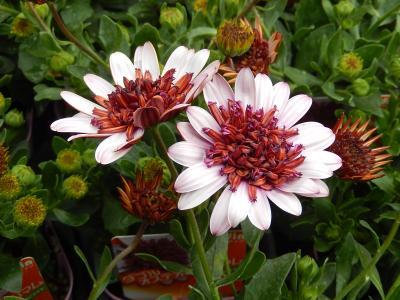 ガーデンセンターで見られた春の花(21)