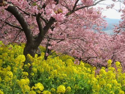 高松山から富士山眺望、松田町で河津桜観賞