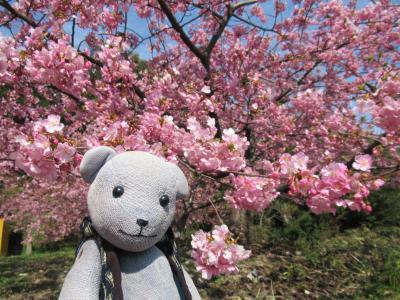 周防大島応援!で小積の河津桜と食べ歩きに行く