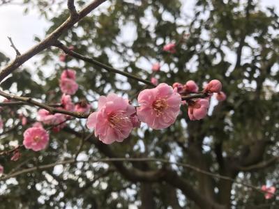 3月初め 京都 梅めぐり 平安神宮~京都御所~北野天満宮の梅苑ライトアップ