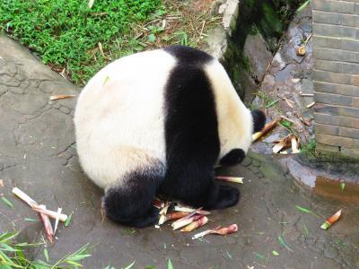 反省の色が見えない!!!2018年10月大熊猫保護研究中心都江堰基地・都江堰 中国成都周辺 5泊6日1人旅(個人旅行)7