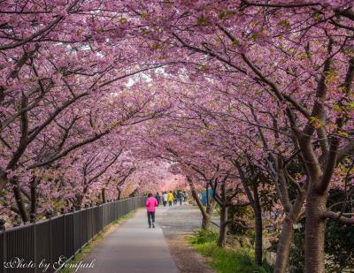 河津桜の本場で一足早い花見三昧