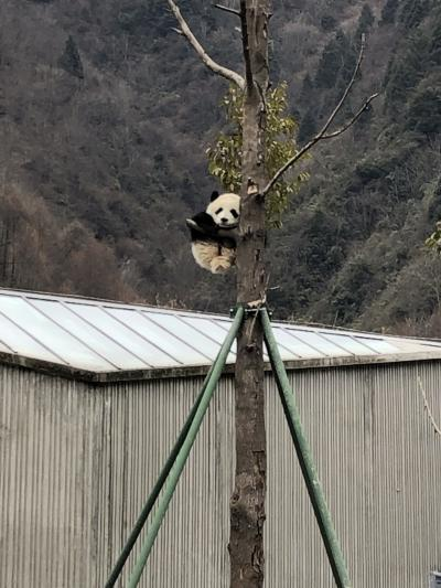 息子4歳と四川省でパンダざんまい!!!