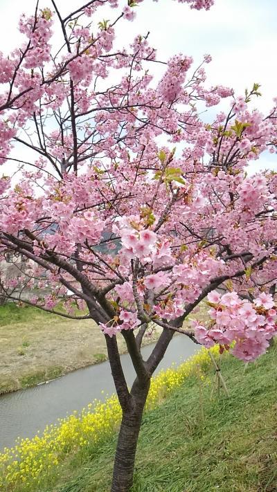 鋸南町へ頼朝桜を見に・・・