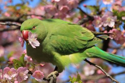林試の森公園の河津桜が見頃になりました。2019年3月