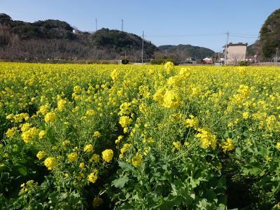 南伊豆へ 2019.02.11 =その2・日野の菜の花畑=