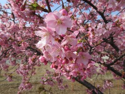 河津桜(湊川にて)
