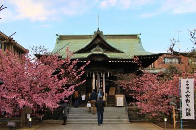 桜神宮の河津桜、駒沢公園の梅林2019年3月