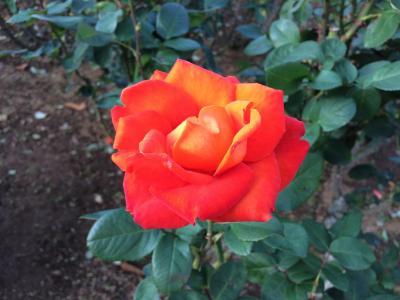 習志野市の谷津バラ園をぶらぶらして秋バラを堪能しました/ここは東洋一のバラ園を誇った谷津遊園内の旧京成バラ園の文化遺産