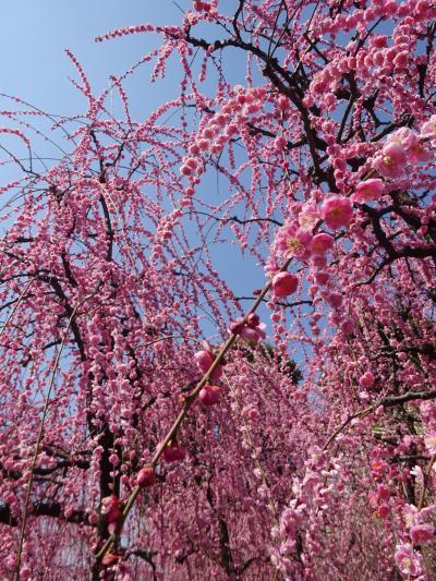 京の週末 梅のシャワーを浴びに城南宮へ