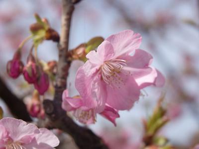 南伊豆へ 2019.02.11 =その3-3・青野川沿いに河津桜を見ながらウォーキング=
