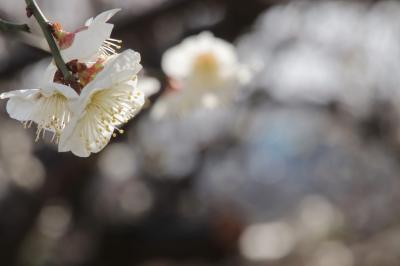 智光山公園に隣接した梅林で梅を愛でる