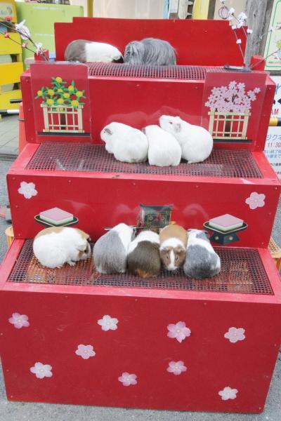 ひな祭りの智光山公園こども動物園~相変わらず楽しいコツメカワウソ一家と半ヶ月齢の子ヒツジちゃんとテンジクネズミのひな壇と桜バージョンのテンジクネズミのお帰り橋