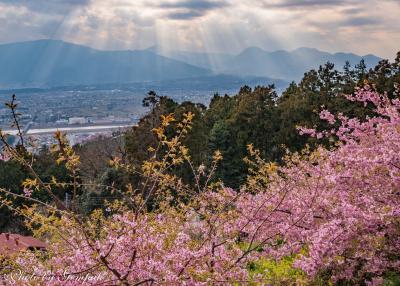 河津からの帰り道、もう一つの河津桜の見所に立ち寄り ~あぐりパーク嵯峨山苑~