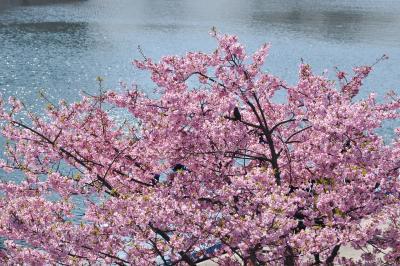 旧中川の河津桜とメジロ