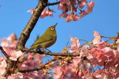 寿福寺のオカメ桜、西郷山公園の満開の河津桜。その合間にスターバックス リザーブ ロースタリーの下見。2019年3月
