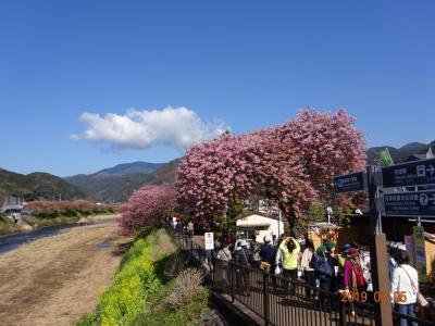 河津桜とぐるり早春の伊豆半島