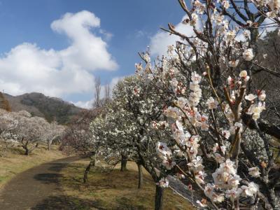 「梅林公園」のウメ_2019_白梅は見頃間近、紅梅は見頃過ぎでした。(栃木県・佐野市)