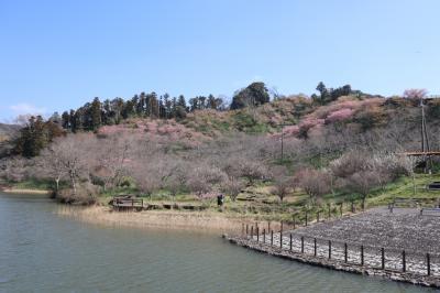 南房総散策(3)・・鋸南町に満開の頼朝桜を訪ねます。