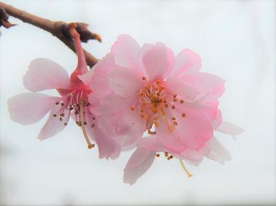 美しかった冬桜その後(3月6日観察)