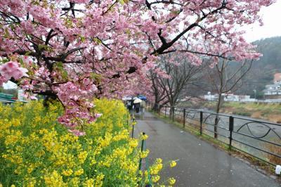 伊豆半島の花めぐりの旅1(河津編)
