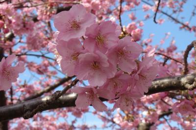 岡崎市の乙川の堤防に河津桜を見に行って来ました。