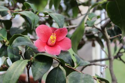 日本名花のひとつ、椿をヨーテボリで鑑賞
