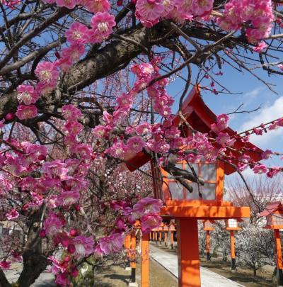 「朝日森天満宮」のウメ_2019(2)_参道の梅が7~8分咲きになりました。(栃木県・佐野市)
