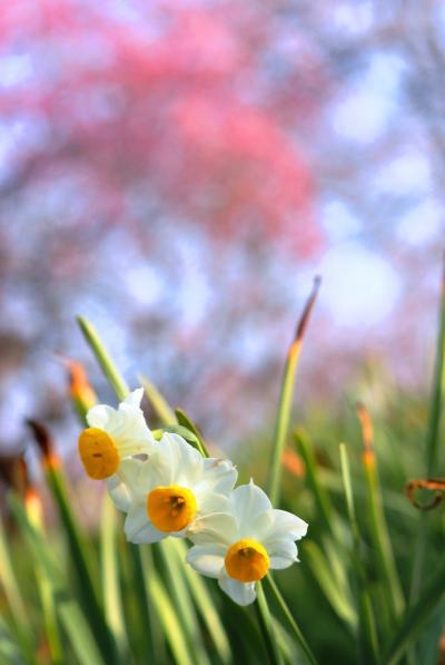 3年ぶりに枝垂れ梅畑を鑑賞「和泉リサイクル環境公園」