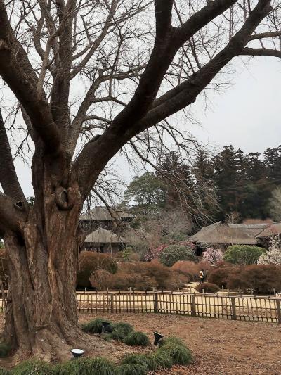 水戸-3 偕楽園a  梅まつりの日曜日/左近の桜周辺 ☆黄門漫遊一座/子ども梅大使が登場し