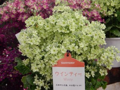 ガーデンセンターで見られた春の花(24)