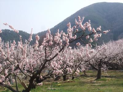 信州の春は「あんずまつり」から 一目十万本の「あんずの里」を訪ねて